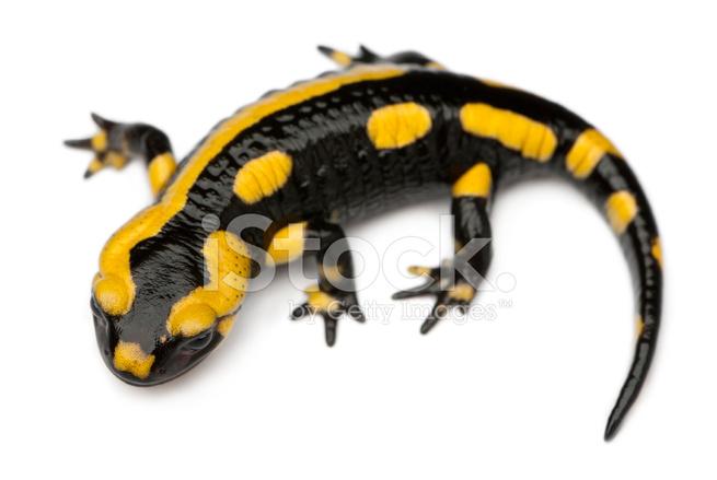 salamander white background - photo #25