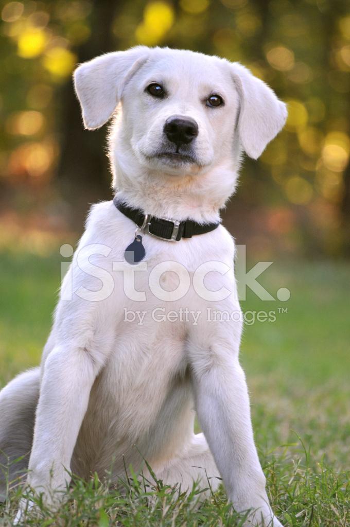 外面耐心地坐在白色拉布拉多混合小狗 照片素材