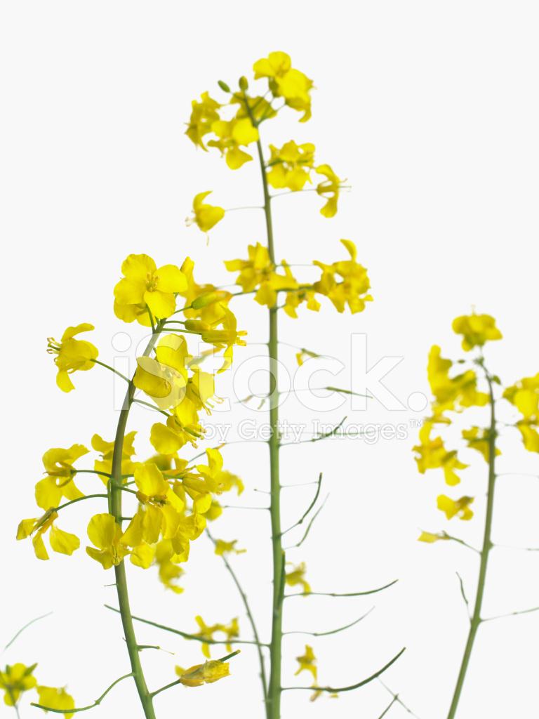 Rape Flower Stock Photos Freeimages Com