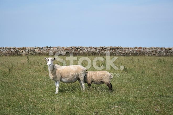 sheepish 2 stock photos freeimages com