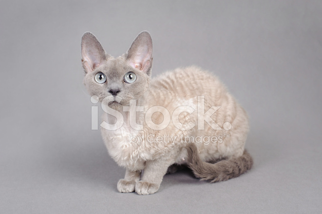 Kotów Devon Rex Zdjęcia Ze Zbiorów Freeimagescom