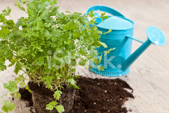 how to cut fresh parsley from plant