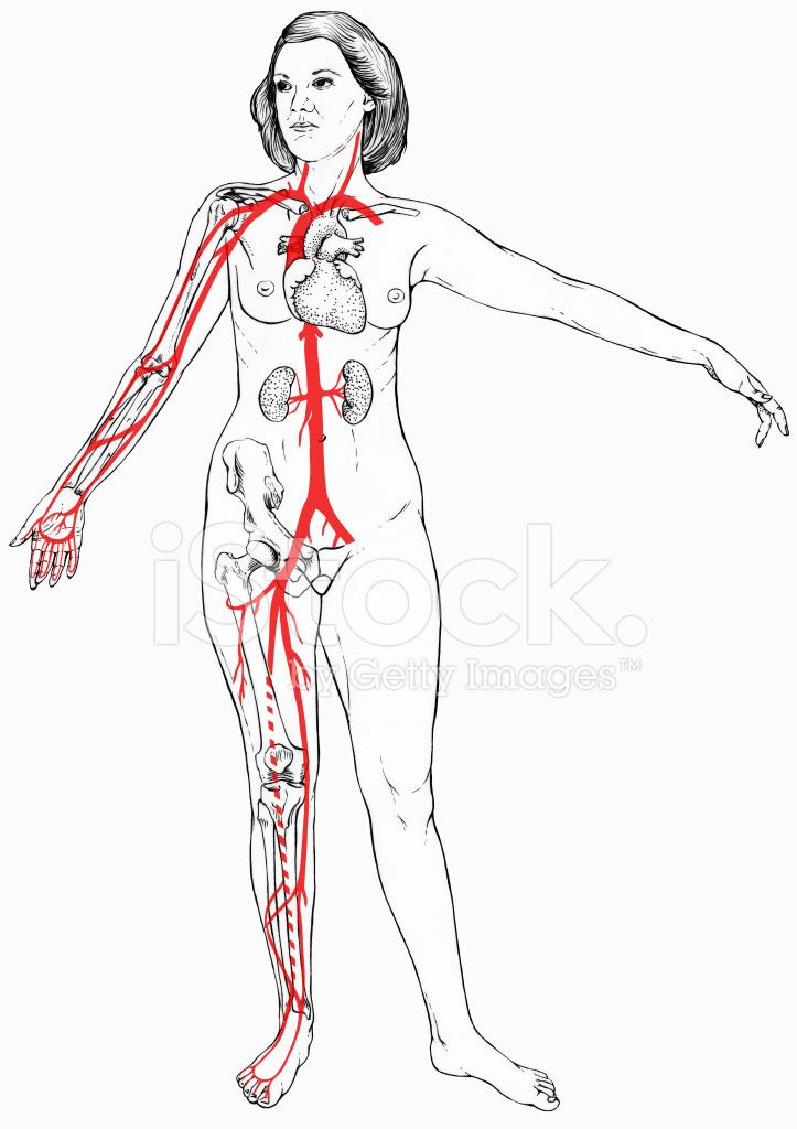 Figura Femenina Con Selecto Anatomía Interna Stock Vector ...