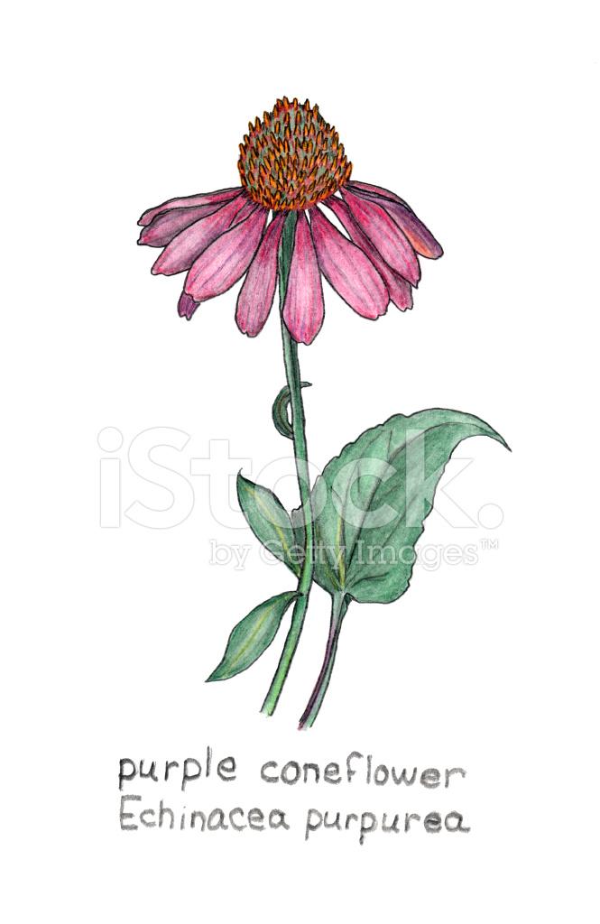 Line Drawing Coneflower : Purple coneflower echinacea purpurea colored pencil