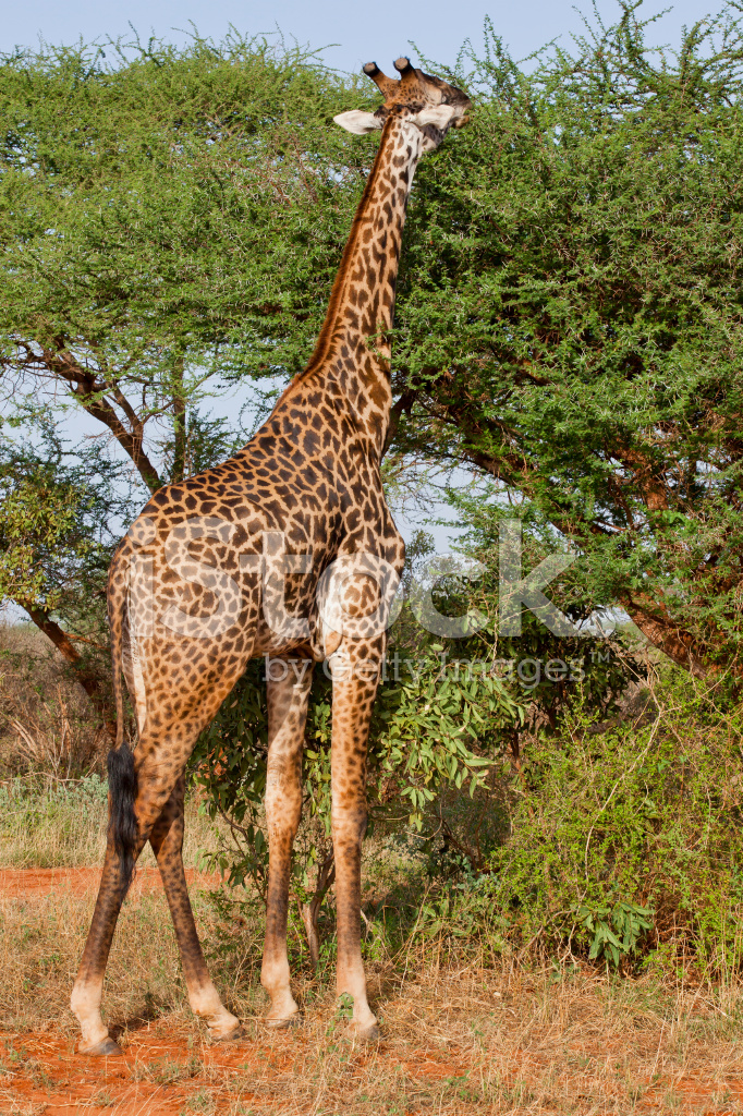 What Giraffes Eat And Drink