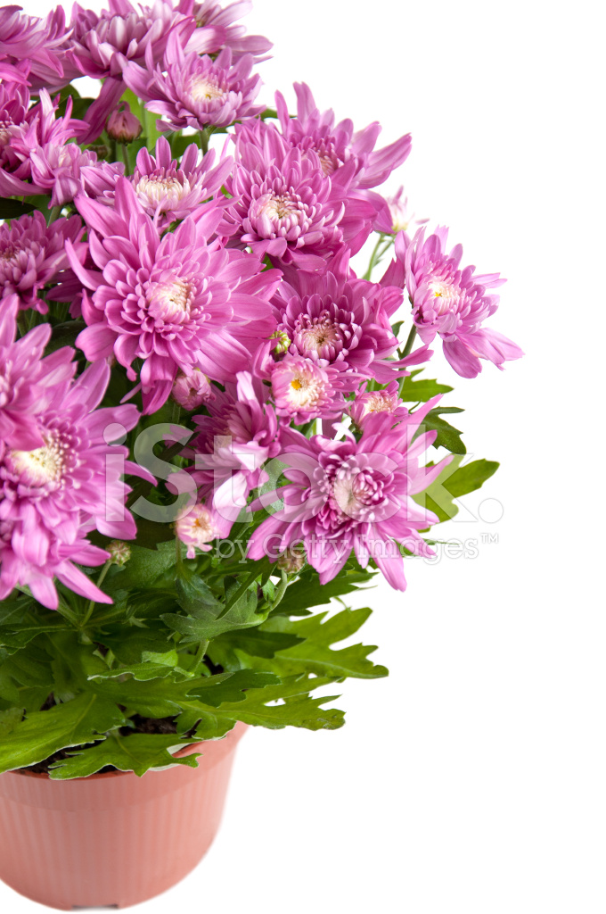 Lila Chrysanthemen In Topfen Isoliert Stockfotos Freeimages Com
