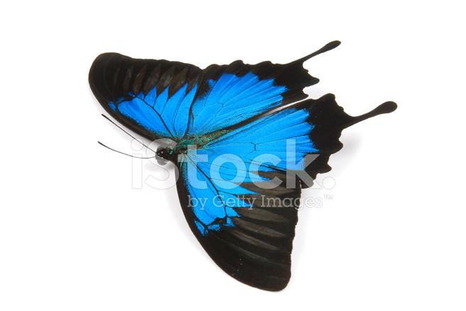 Bella Farfalla Ulisse Blu Volare Su Uno Sfondo Fotografie Stock