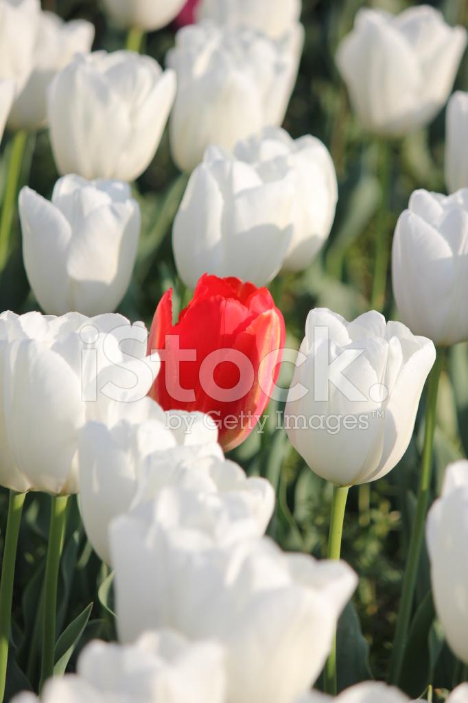 Tulipe rouge dans le champ de la fleur blanche.