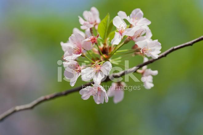"Fans of taiko drumming, teriyaki chicken, sake and Japanese artwork and wares won't want to miss this year's Cherry Blossom Festival – ""Sakura Matsuri"" in Japanese."