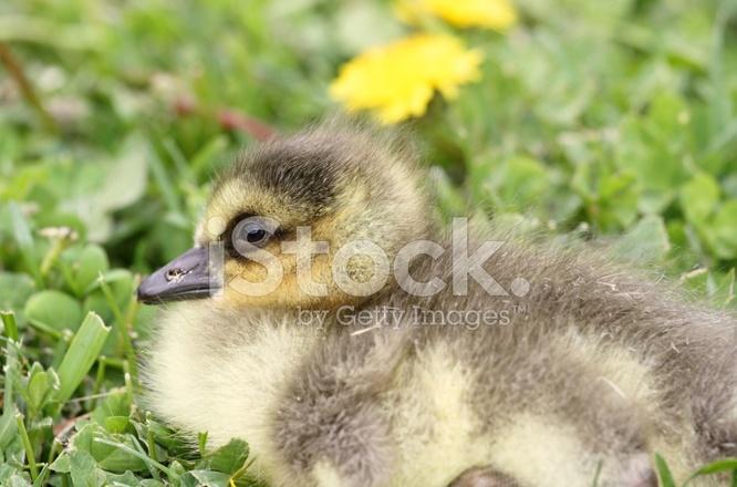 online store 89760 ededa Baby Gans Stockfotos - FreeImages.com