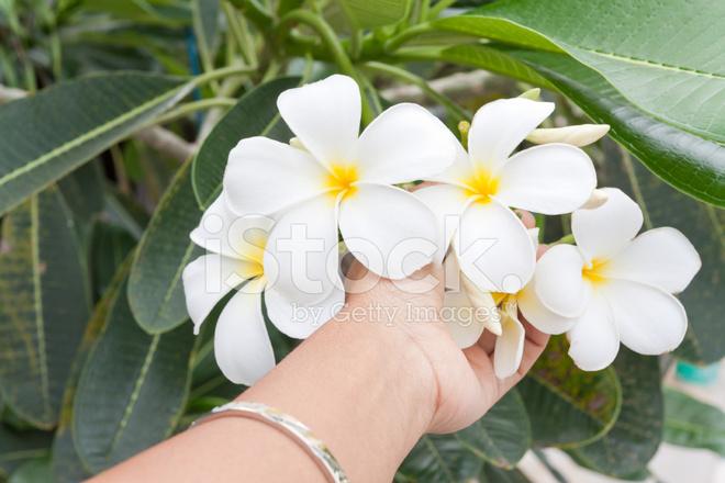 Hand Holding Tropical White Stock Photos - FreeImages.com