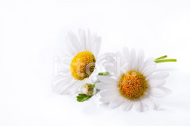 Kunst Gänseblümchen Sommer Blume Isoliert Auf Weißem Hintergrund ...