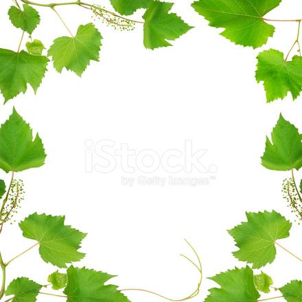프레임 이루어져 포도 나무 잎에 고립 된 흰색 배경 스톡 사진 ...