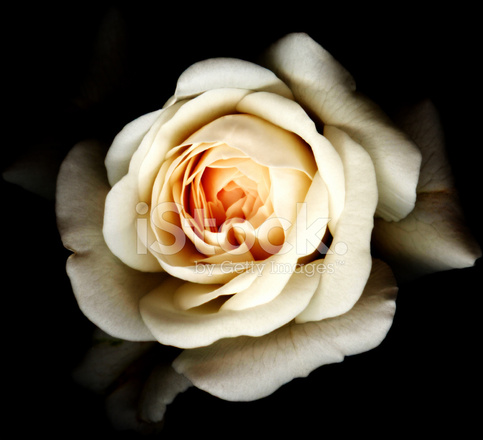 Black Rose White Background White Rose Black Backg...