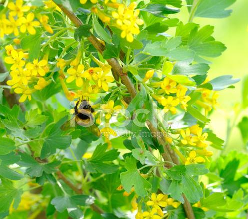 Cespuglio Con Fiori Gialli.Bumblebee Impollinatori Jostaberry Cespuglio Con Fiori Gialli