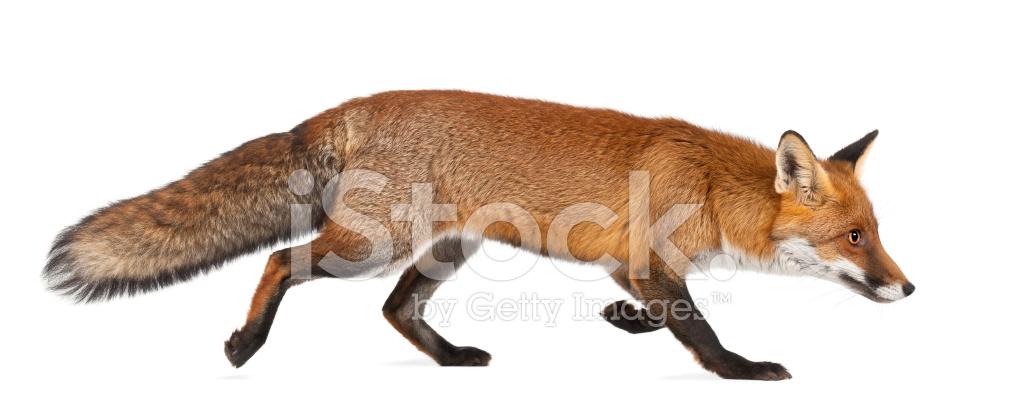 Volpe Rossa Camminando Su Sfondo Bianco Fotografie Stock