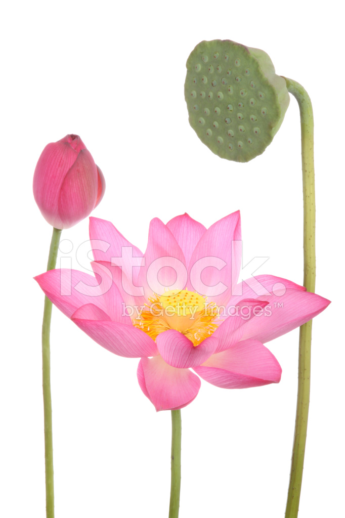 Lotus Flowers And Seedpod On White Background Stock Photos Freeimages Com