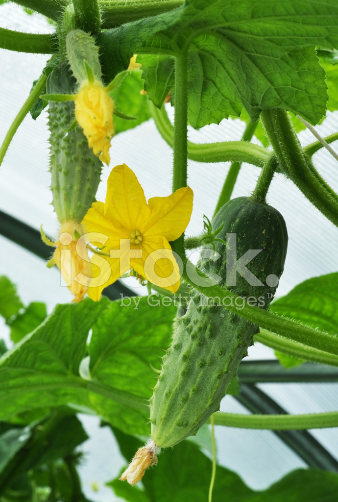 Cucumber and Flower Stock Photos - FreeImages.com