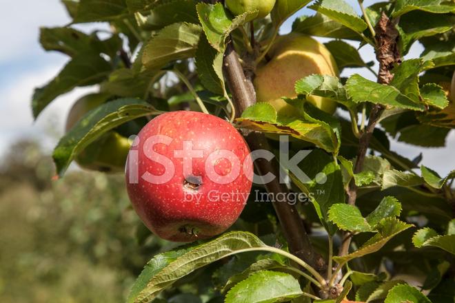 Висит яблочко