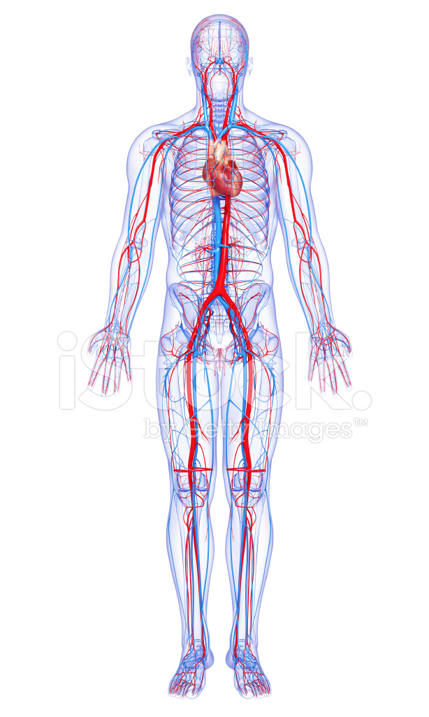 Male Full Body Circulatory System Highlights Heart Stock Photos