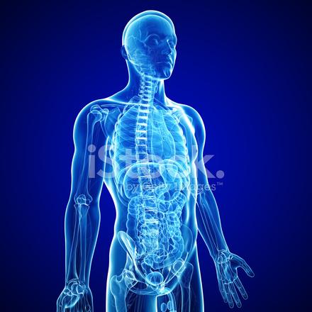 Anatomía Del Cuerpo Humano En Forma DE Rayos X Azul Fotografías de ...