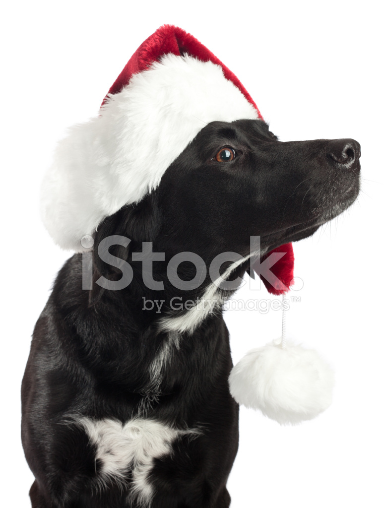 black dog showing off christmas hat stock photos freeimages com