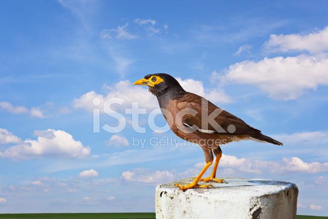 Oiseau mainate commun photos for Oiseau commun