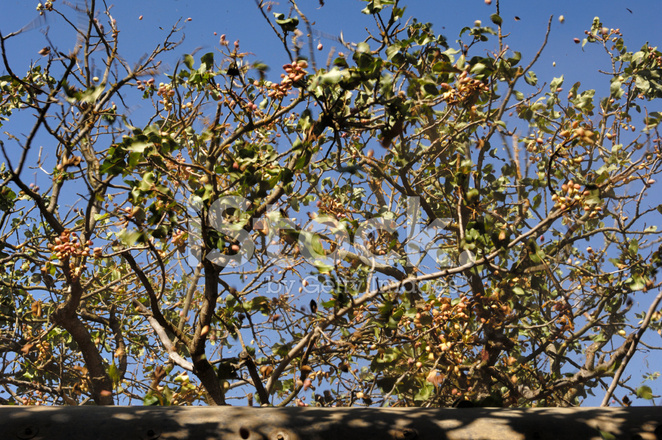 Ripe Pistachio Being Harvested With A Mechanical Shaker ...