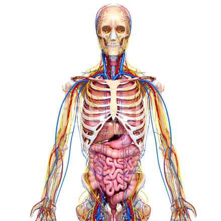 Blut Kreislauf Systems UND Des Nervensystems Des Menschen Stockfotos ...