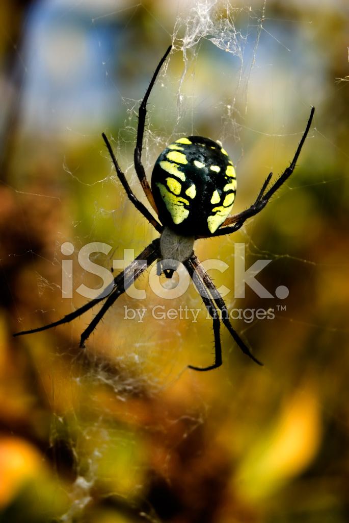 Garden Spider Argiope Aurantia Stock Photos Freeimages Com