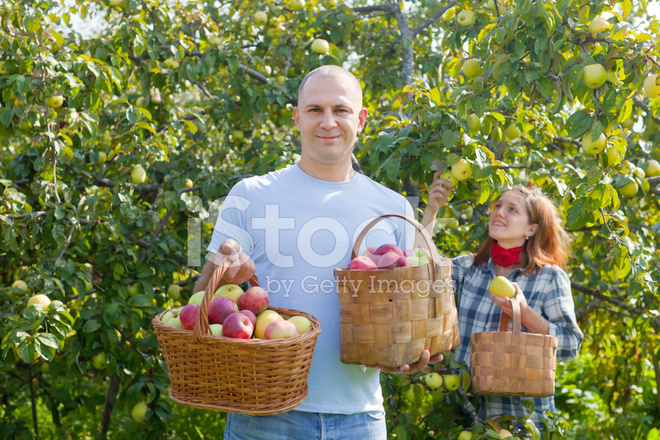 Happy Couple Picks Apples
