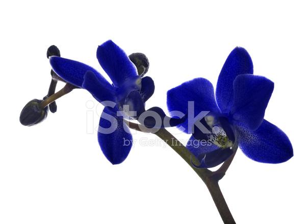 Pequenas Flores Orquideas Azules Oscuras Sobre Fondo Blanco