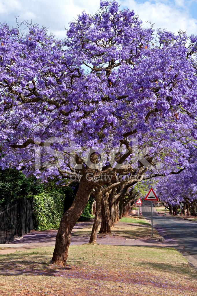 Jacaranda Trees Stock Photos Freeimages