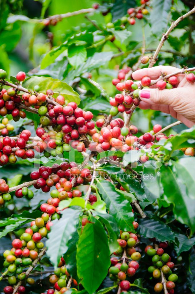 colheita de grãos maduros de uma planta de café fotos do acervo