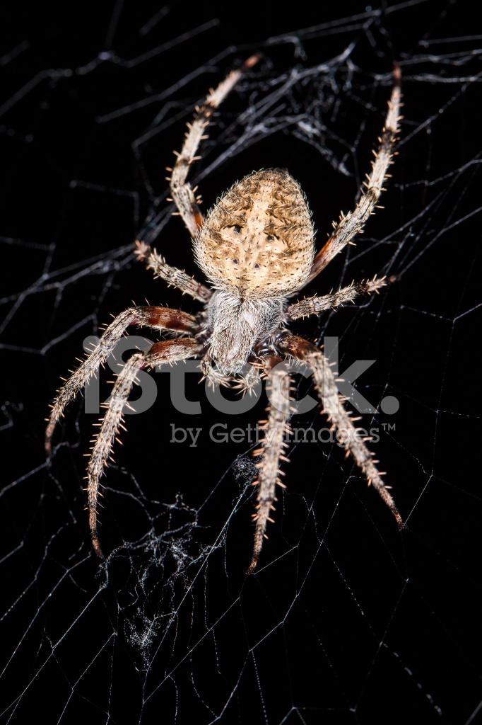 Brown Garden Spider Close Up Stock Photos Freeimages Com