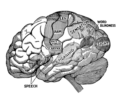 Diagrama DE Cerebro Humano Stock Vector - FreeImages.com
