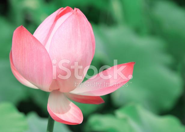 Pink Asian Lotus Flower Stock Photos Freeimagescom