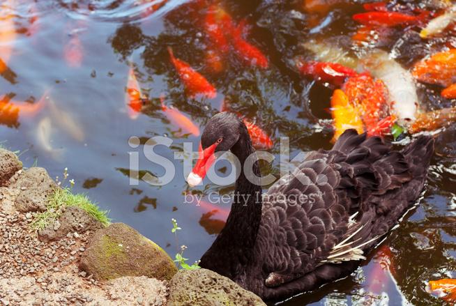 Black swan and koi fish pond stock photos for Koi pond music