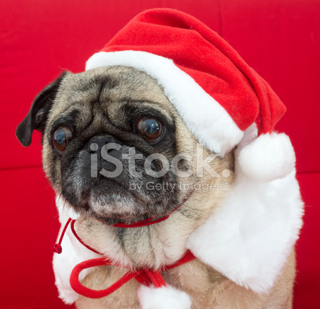 Mops Bilder Weihnachten.Mops In Weihnachten Kostüm Stockfotos Freeimages Com