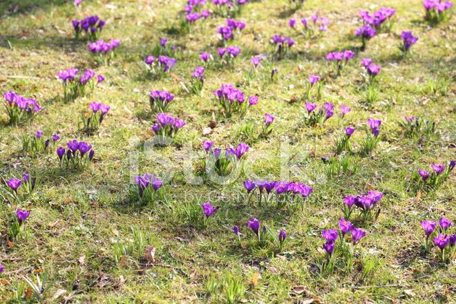 üzerinde Yeşil Mead Ile Mor çiçek Açan çiğdem Bahar Longiflorus Stok