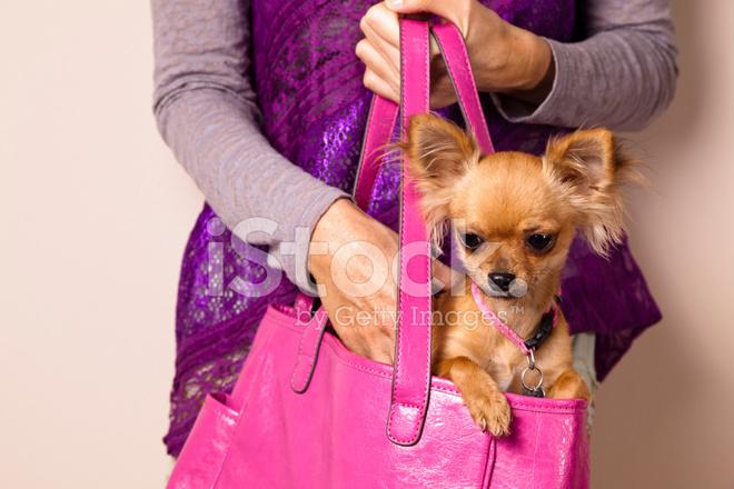 Lindo pequeño cachorro de Chihuahua pelo largo descansando en el bolso de  las señoras 8d93446af36e