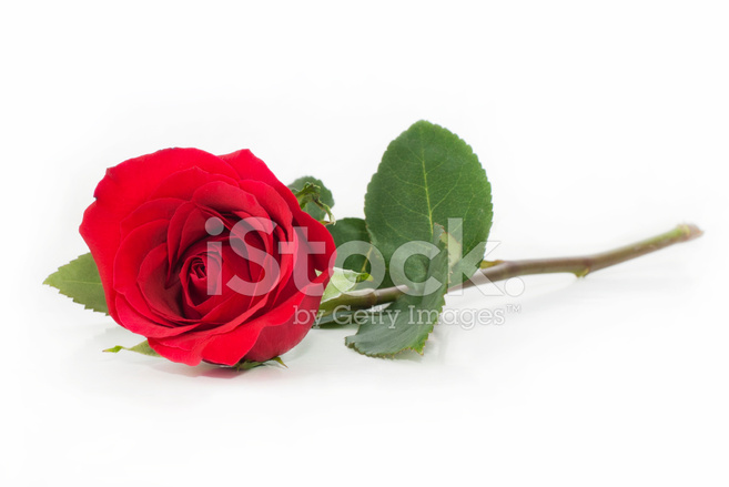 single red rose on white background stock photos. Black Bedroom Furniture Sets. Home Design Ideas