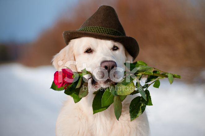 — Festa de Halloween - Página 2 23320823-golden-retriever-dog-holding-a-rose-in-the-mouth