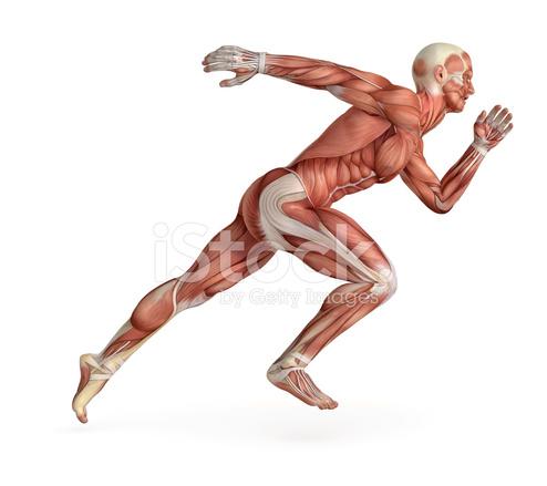 Cuerpo Humano Para El Estudio, Mostrando Los Músculos Mientras SE ...