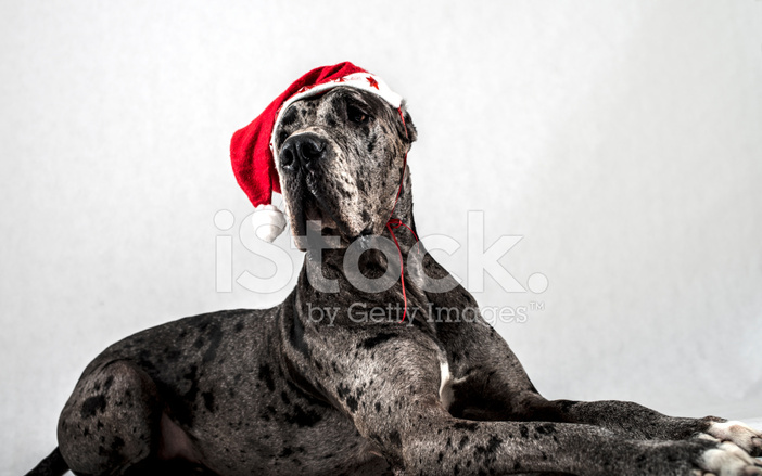 Watch How to Train Great Danes video