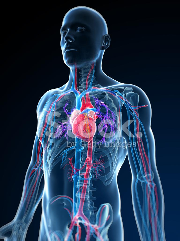 Human Vascular System Stock Photos Freeimages