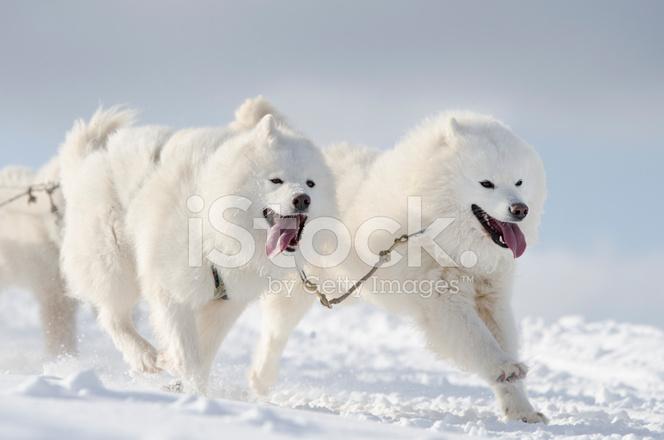 Group of White Samoyed Sled Dogs Running IN Snow stock ...
