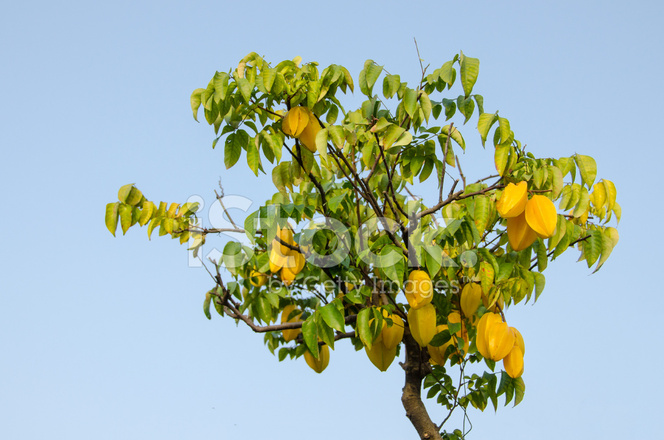 carambola fruits on tree stock photos freeimages com