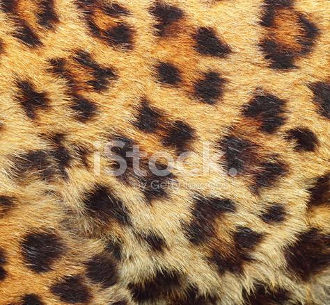 Texture Of Leopard Fur Stock Photos Freeimagescom
