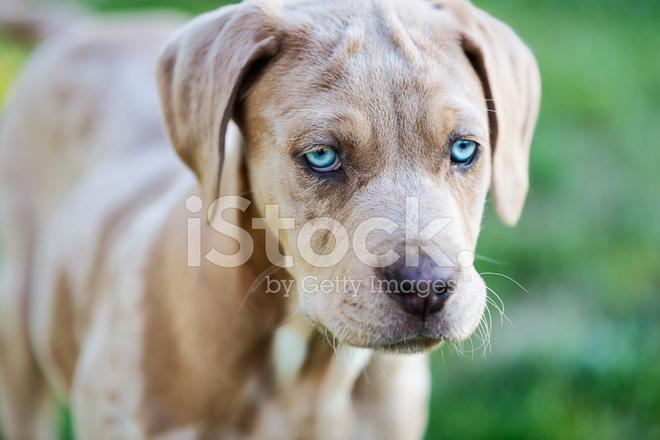 White Dog With Pink Eyes